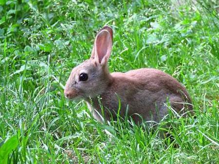 Du lapin des champs au lapin urbain la dure vie du lapin urbain - Cuisiner le lapin de garenne ...