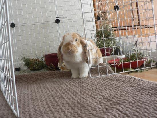 Habitat du lapin de compagnie la semi libert la dure vie du lapin urbain - Enclos lapin pas cher ...